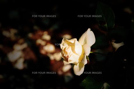 チャイコフスキー・・・白い薔薇の素材 [FYI00132792]