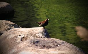水辺の小鳥の素材 [FYI00132820]