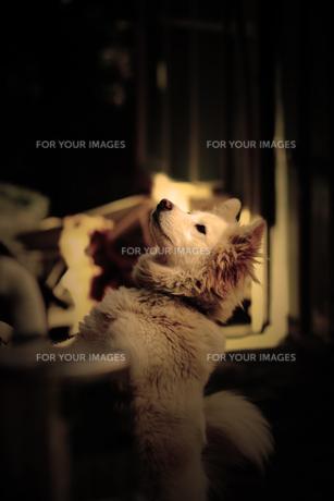犬の写真素材 [FYI00132829]