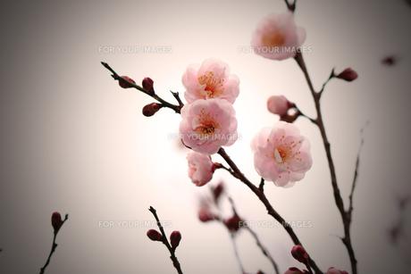 花桃の素材 [FYI00132845]