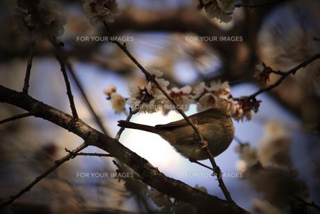 梅の花とウグイスの写真素材 [FYI00132864]