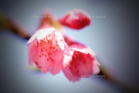 桜の素材 [FYI00132865]