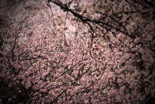 花桃の素材 [FYI00132869]