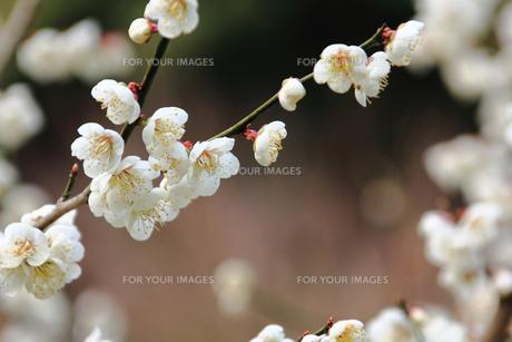 梅の花の素材 [FYI00132876]