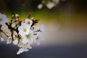 桜の素材 [FYI00132887]