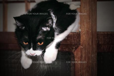 悪戯するネコの写真素材 [FYI00132920]