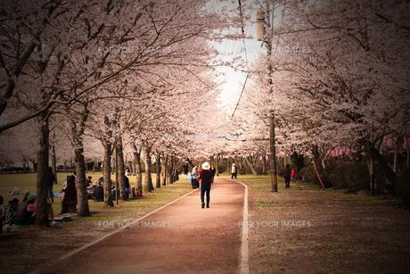 桜並木の素材 [FYI00132941]