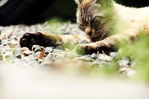 リラックスしている猫の素材 [FYI00132984]