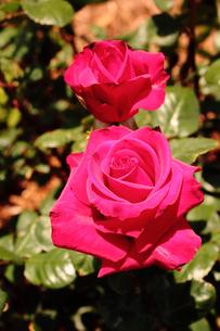 黒真珠・・・赤いバラの素材 [FYI00133002]