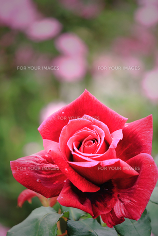 パパメイアン・・・赤い大輪の薔薇の素材 [FYI00133037]