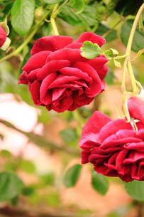 ギネ・・・赤い蔓薔薇の素材 [FYI00133038]