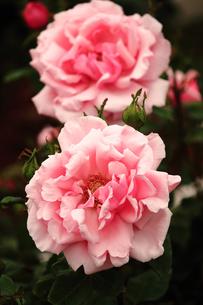 薔薇の素材 [FYI00133064]