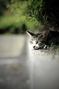 野良猫の素材 [FYI00133103]