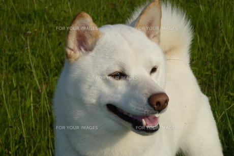 柴犬の写真素材 [FYI00133122]