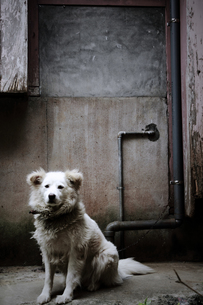 佇む犬の素材 [FYI00133127]