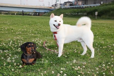 柴犬とダックスフンドの写真素材 [FYI00133140]