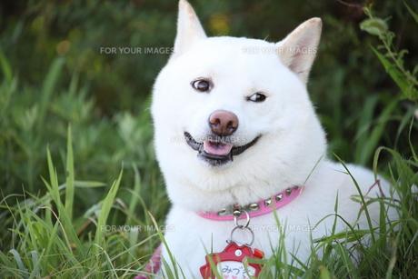 日本犬の写真素材 [FYI00133144]
