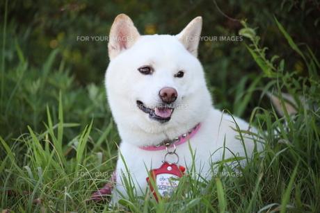 日本犬の写真素材 [FYI00133167]