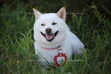 日本犬の写真素材 [FYI00133175]