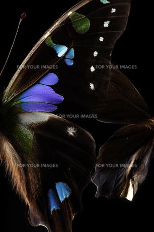 蝶の素材 [FYI00133279]