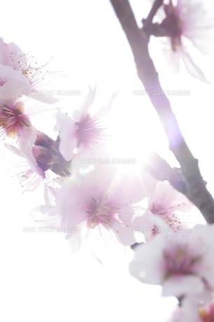 桜イメージの素材 [FYI00133301]