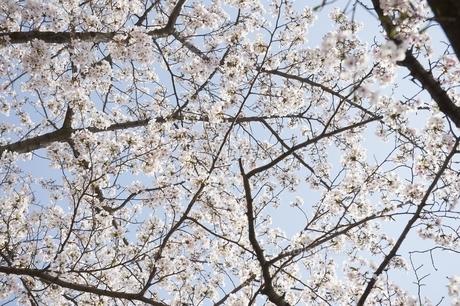 桜の素材 [FYI00133304]