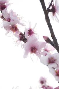 桜の素材 [FYI00133312]