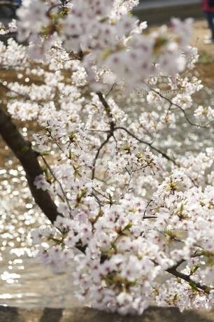 桜の素材 [FYI00133317]