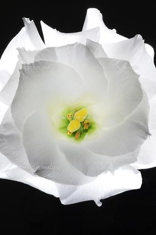 花の素材 [FYI00133359]