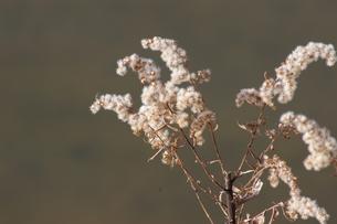 冬枯れのキリン草の素材 [FYI00133379]