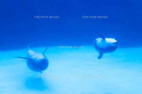 仲良く背面泳ぎの写真素材 [FYI00133445]