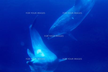 戯れるイルカの写真素材 [FYI00133472]