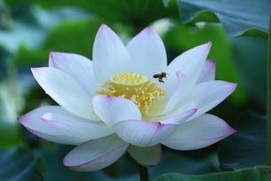lotus-10の写真素材 [FYI00133537]