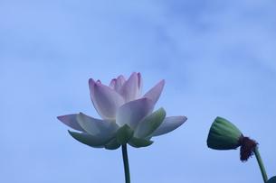 lotus-8の写真素材 [FYI00133539]