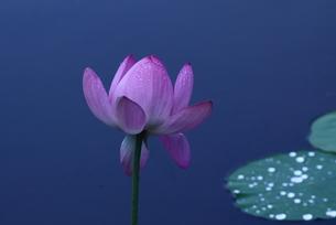 lotus-2の写真素材 [FYI00133548]