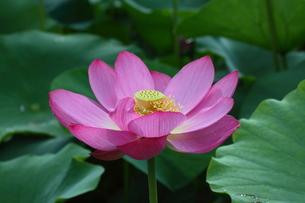 lotus-1の写真素材 [FYI00133550]