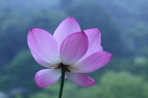 lotus-3の写真素材 [FYI00133551]
