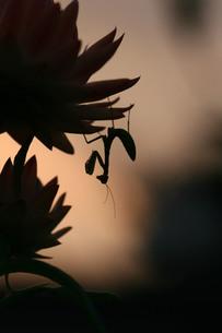 カマキリのシルエットの写真素材 [FYI00133609]