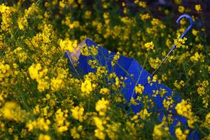 菜の花と青い傘の写真素材 [FYI00133614]