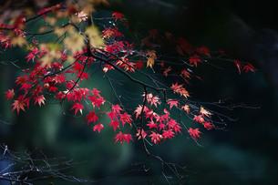 美しい紅葉の写真素材 [FYI00133623]