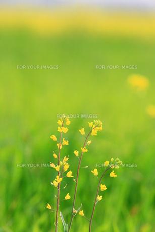 群生する菜の花の素材 [FYI00133638]