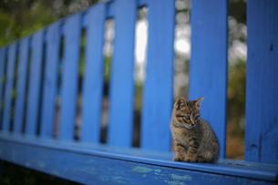 野良猫と青いベンチの写真素材 [FYI00133639]