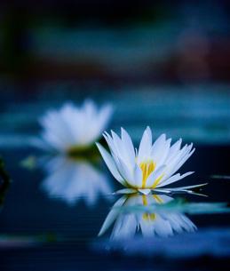 水面に映る花の写真素材 [FYI00133643]