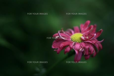 枯れはじめの花の素材 [FYI00133649]