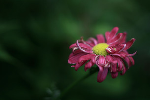 枯れはじめの花の写真素材 [FYI00133649]