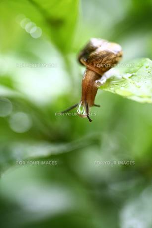 水滴のついたカタツムリの写真素材 [FYI00133651]
