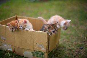 ダンボールから外を眺める捨て猫たちの写真素材 [FYI00133658]