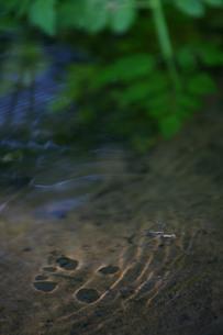 水底に映るアメンボの影の写真素材 [FYI00133659]