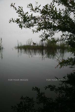 霧中の湖に浮かぶ植物と鳥の素材 [FYI00133661]