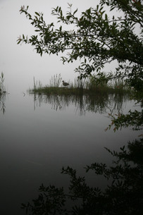 霧中の湖に浮かぶ植物と鳥の写真素材 [FYI00133661]